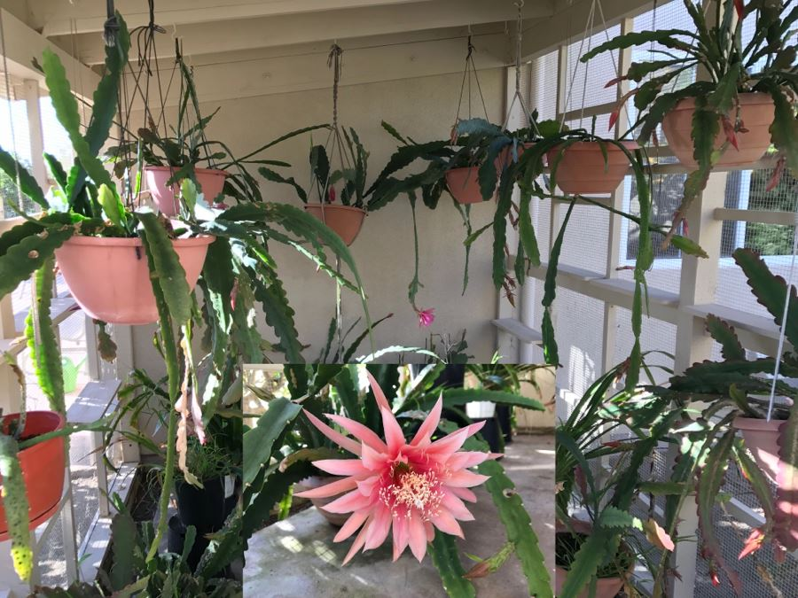Shade House Full Of Epiphyllum Orchid Cactus Plants In