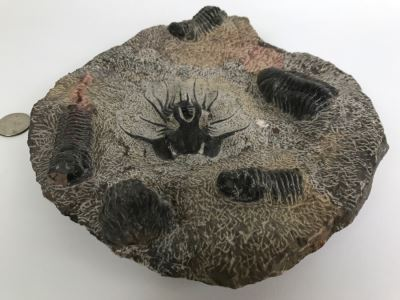 Fossilized Plate Of 6 Different Trilobite Species From Morocco Around 400 Million Years Old