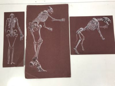 (3) Original Skeletal Drawings By Local Artist Bob Lee