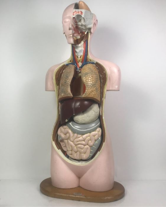 Cenco Central Scientific Anatomical Medical Life Size Mannequin With Pullout Organs Human Body Model For Medical Students Missing Some Organs [Photo 1]