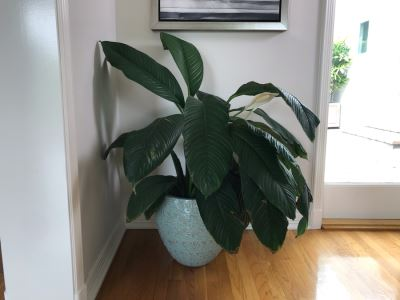 Indoor Real Plant With Plastic Pot 16W X 36H