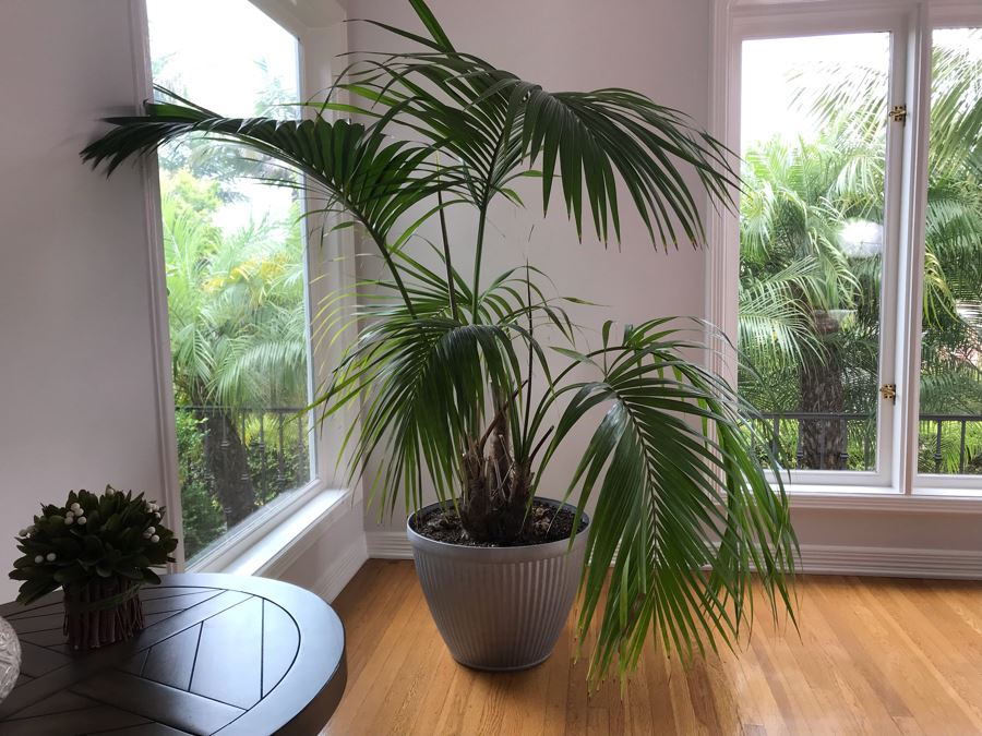 Large Indoor Real Palm Tree Plant With Plastic Pot 22W X 54H [Photo 1]
