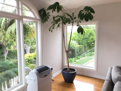 Large Indoor Real Plant With Plastic Pot 19W X 92H