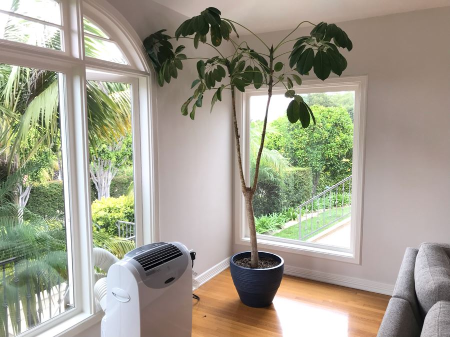 Large Indoor Real Plant With Plastic Pot 19W X 92H [Photo 1]