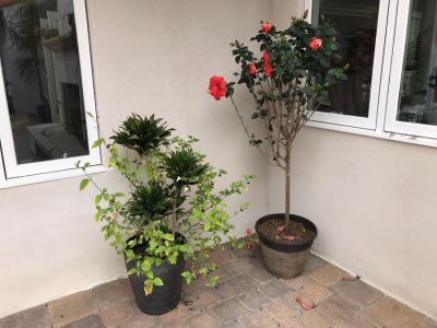 Pair Of Outdoor Potted Plants Hibiscus Plant In Plastic Pots