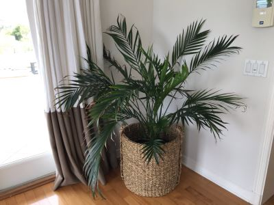 Indoor Palm Tree With Woven Rope Pot 20W X 48H
