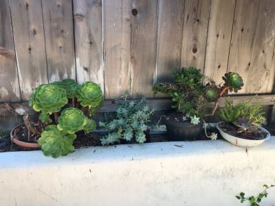 (4) Potted Succulent Plants